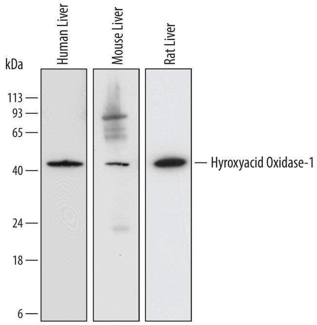 HAO1 Mouse anti-Human, Mouse, Rat, Clone: 732410, Invitrogen 100 µg;