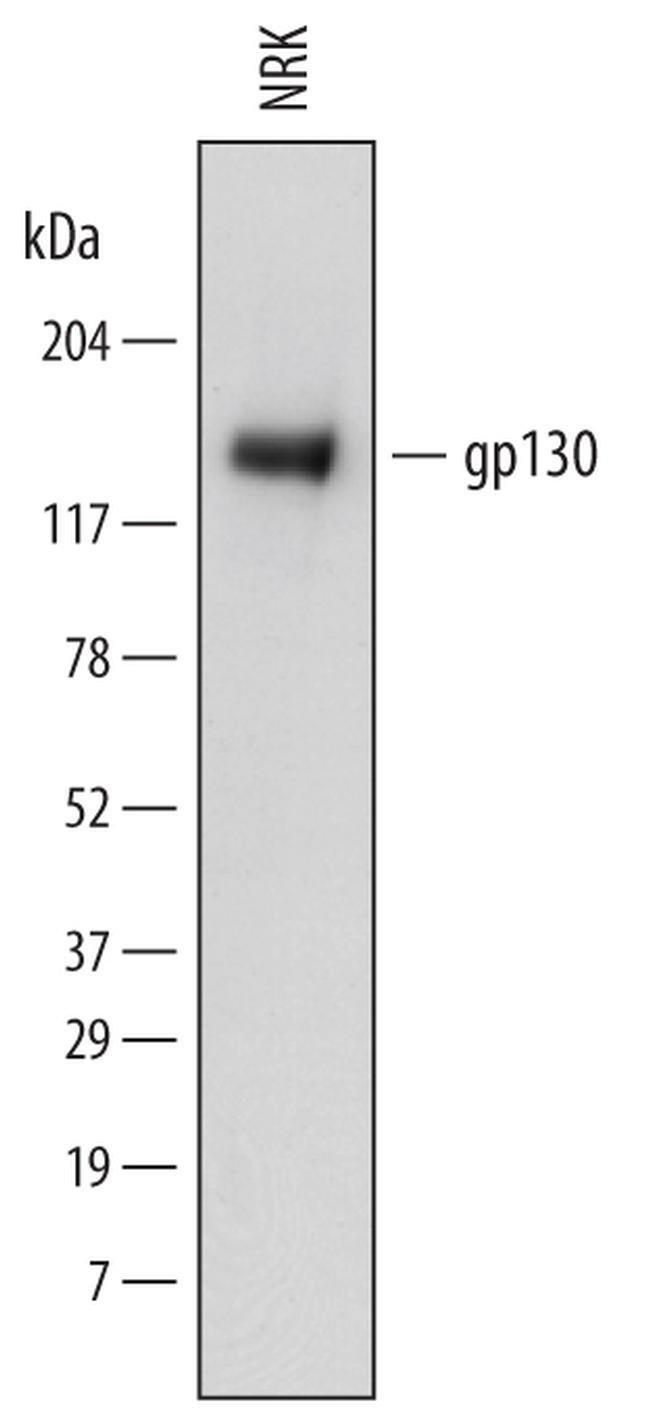 GP130 Mouse anti-Rat, Clone: 745314, Invitrogen 100 µg; Unconjugated