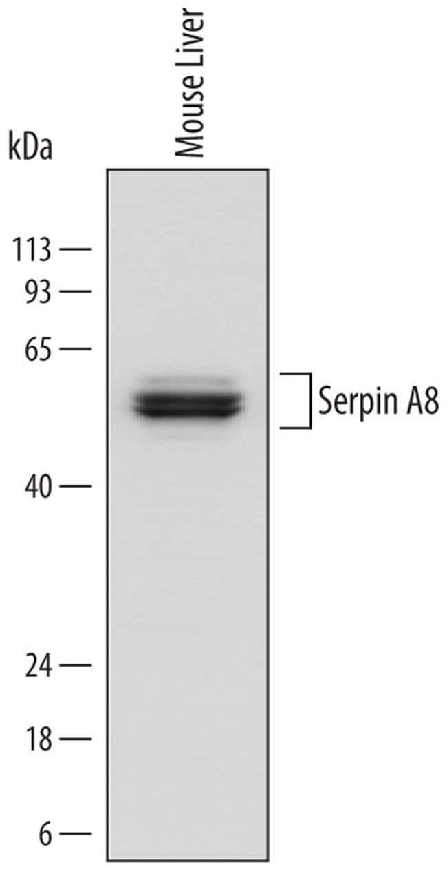 Angiotensinogen Rat anti-Mouse, Clone: 754438, Invitrogen 100 µg;