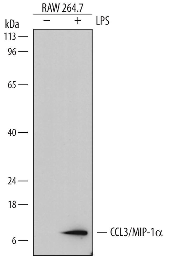 CCL3 Rat anti-Mouse, Clone: 756613, Invitrogen 100 µg; Unconjugated
