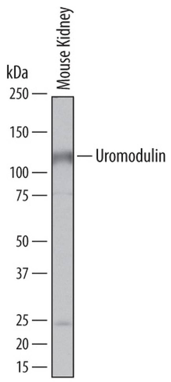 Uromodulin Rat anti-Mouse, Clone: 774056, Invitrogen 100 µg; Unconjugated