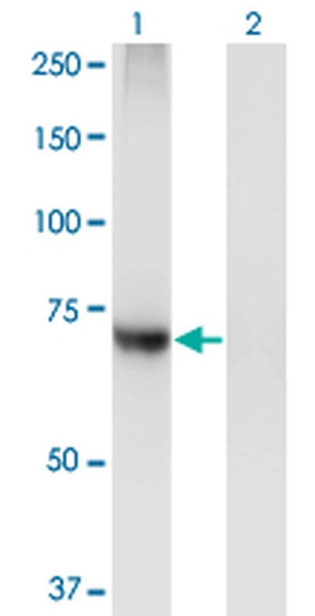 PIGQ Mouse anti-Human, Clone: 2B7, Invitrogen 100 µg; Unconjugated