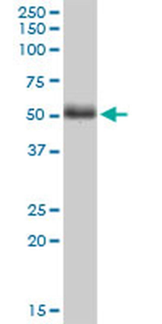 TWF2 Mouse anti-Human, Clone: 2B5, Invitrogen 100 µg; Unconjugated