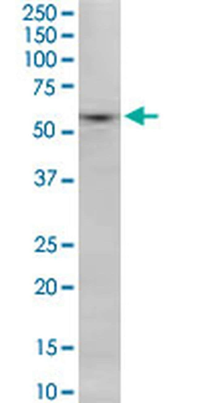SNX8 Mouse anti-Human, Rat, Clone: 3B6, Invitrogen 100 µg; Unconjugated