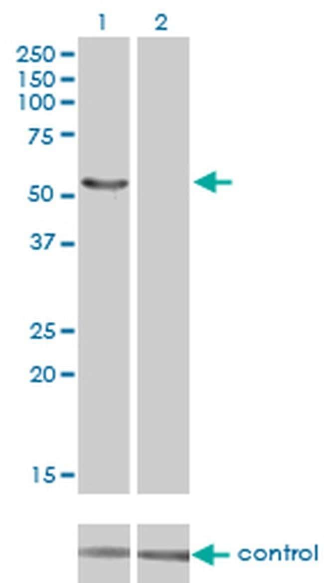 IRX6 Mouse anti-Human, Clone: 1A5, Invitrogen 100 µg; Unconjugated