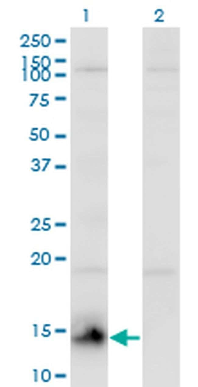 CHURC1 Mouse anti-Human, Clone: 2F9, Invitrogen 100 µg; Unconjugated