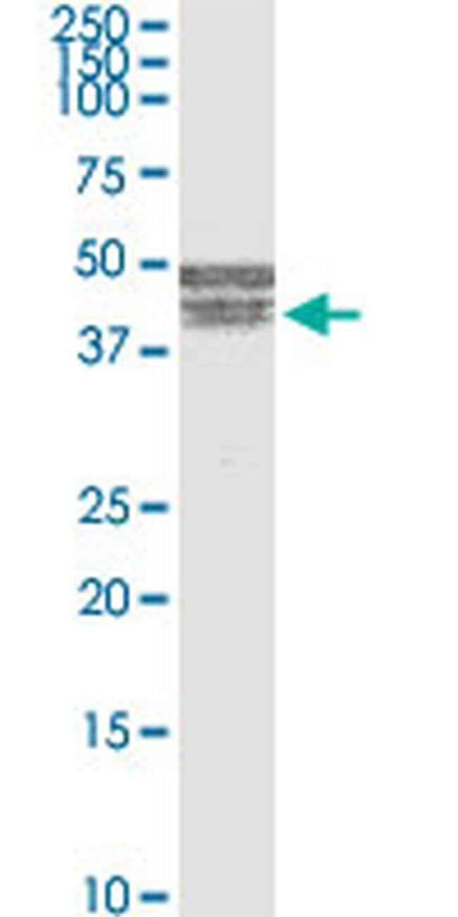 BNIPL Mouse anti-Human, Clone: 2C8, Invitrogen 100 µg; Unconjugated