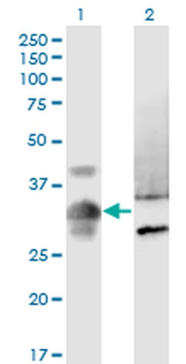 MPPED2 Mouse anti-Human, Clone: 4H5, Invitrogen 100 µg; Unconjugated