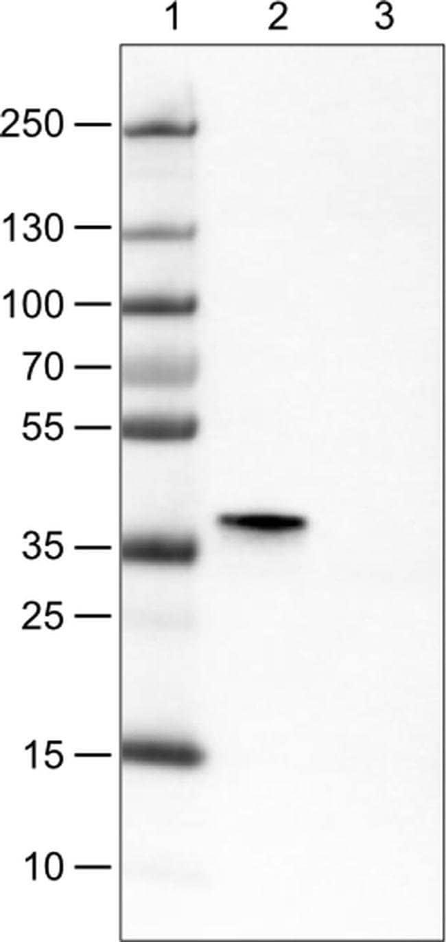 SIX1 Mouse anti-Human, Clone: CL0185, Invitrogen 100 µL; Unconjugated