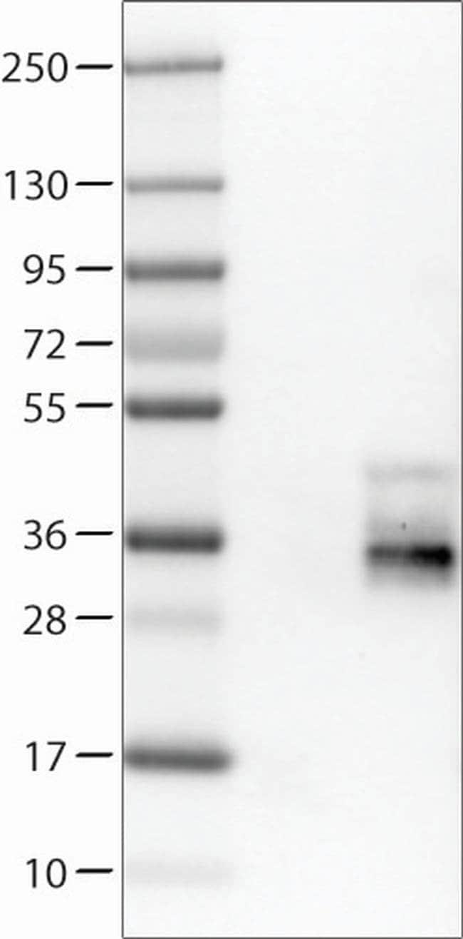 TSPAN7 Mouse anti-Human, Clone: CL0262, Invitrogen 100 µL; Unconjugated