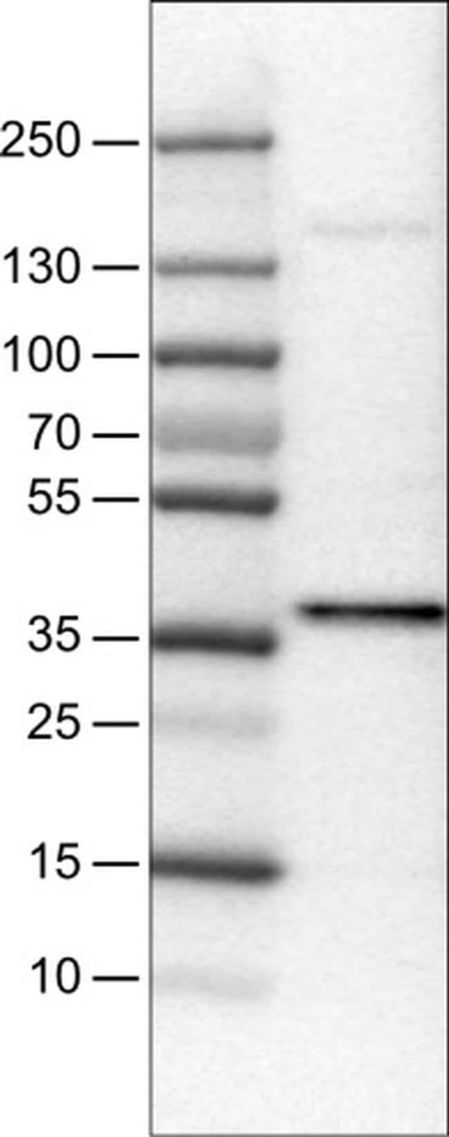 USP46 Mouse anti-Human, Clone: CL0364, Invitrogen 100 µL; Unconjugated