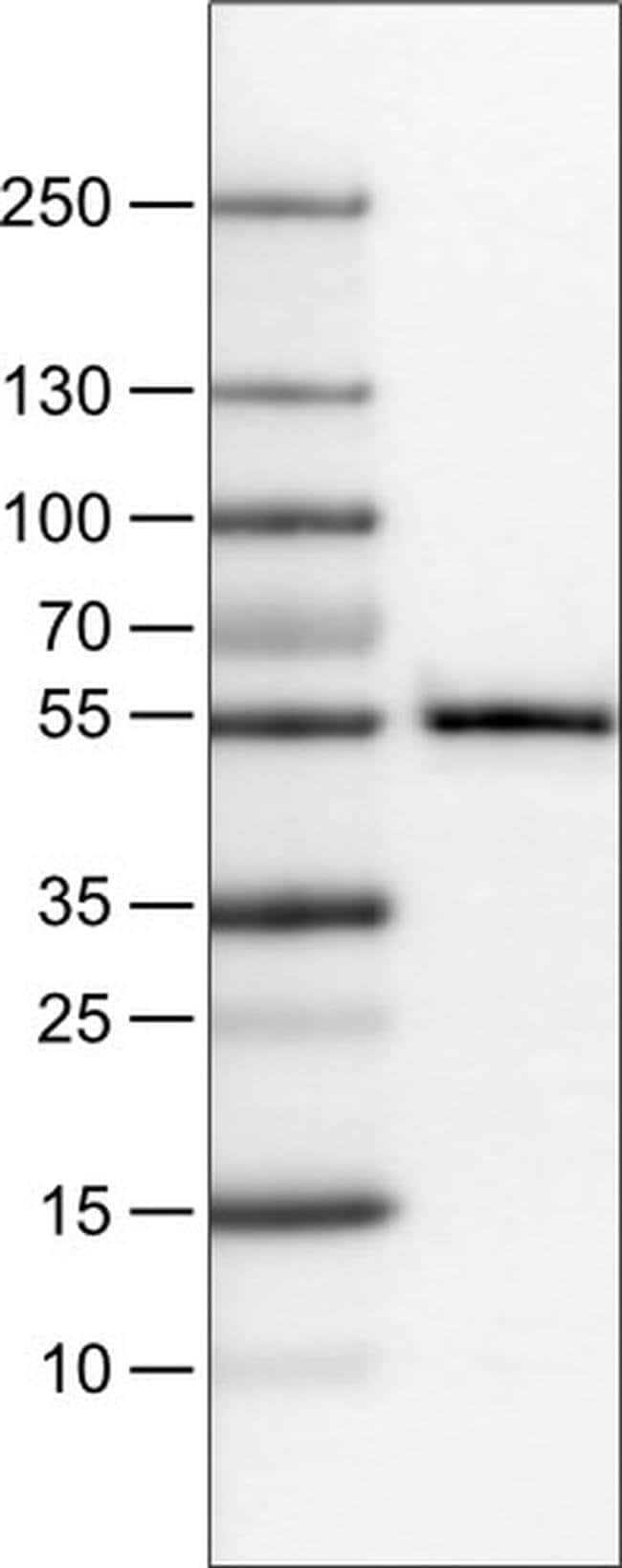 WWTR1 Mouse anti-Human, Clone: CL0371, Invitrogen 100 µL; Unconjugated