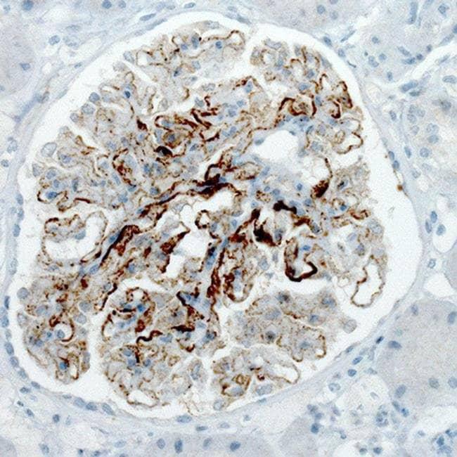 PLA2R1 Mouse anti-Human, Clone: CL0485, Invitrogen 100 µL; Unconjugated