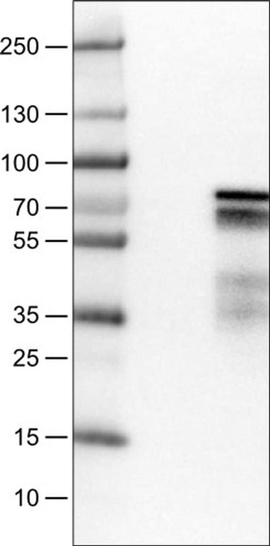 ZNF703 Mouse anti-Human, Clone: CL0654, Invitrogen 100 µL; Unconjugated