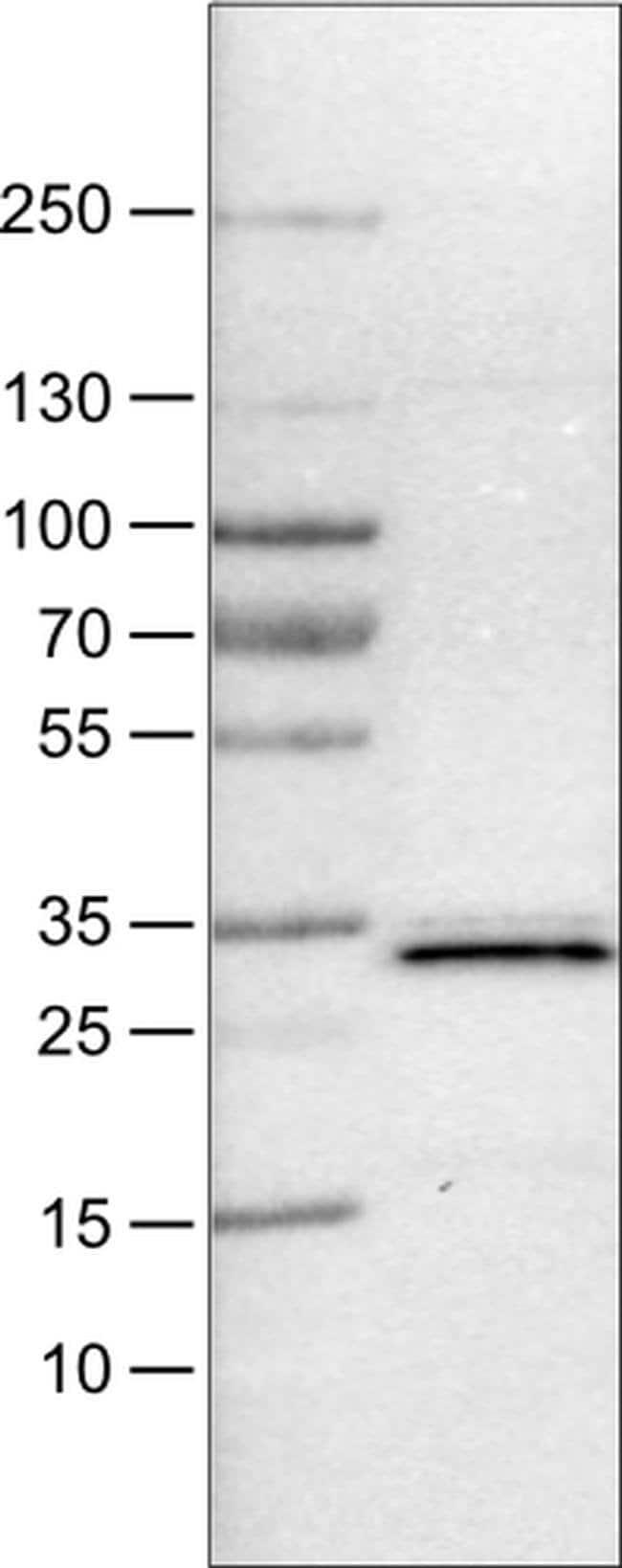 PGAM5 Mouse anti-Human, Clone: CL0624, Invitrogen 100 µL; Unconjugated