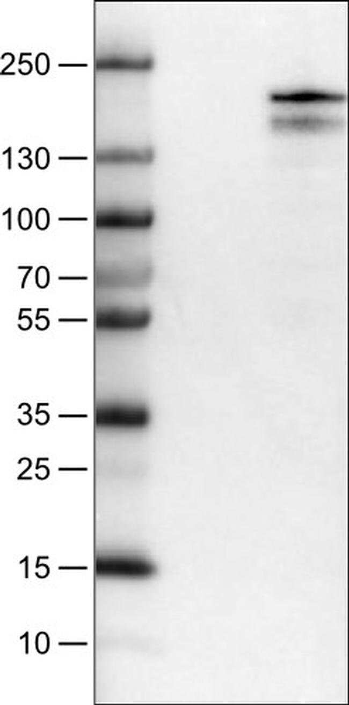 KDM5B Mouse anti-Human, Clone: CL1129, Invitrogen 100 µL; Unconjugated