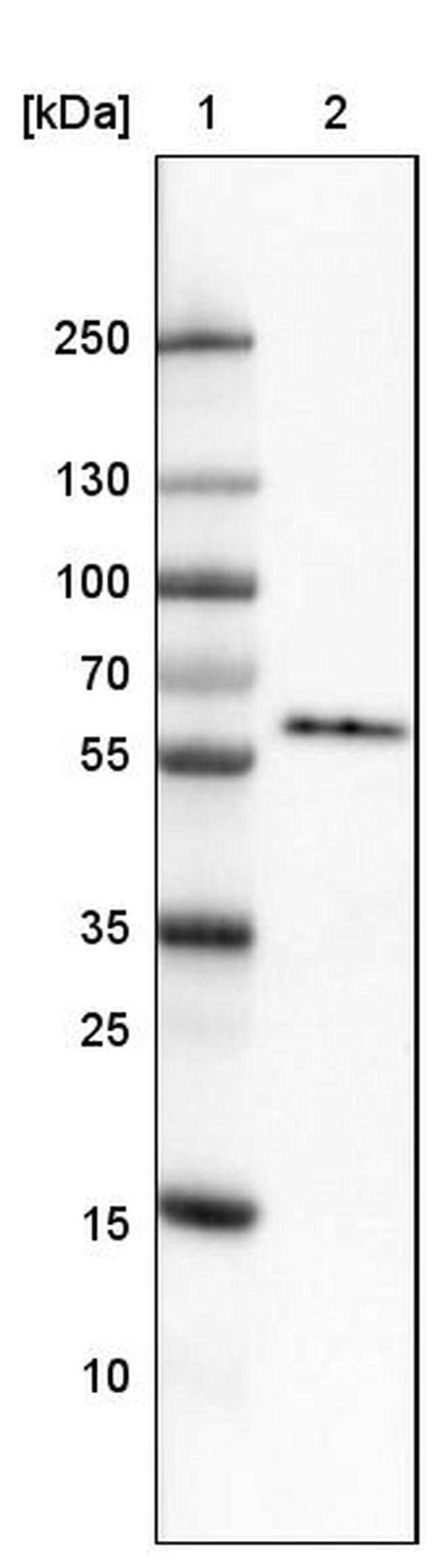 GRASP55 Mouse anti-Human, Clone: CL2522, Invitrogen 100 µL; Unconjugated