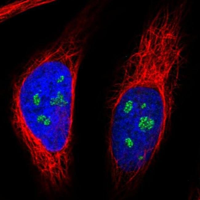NOP56 Mouse anti-Human, Clone: CL2603, Invitrogen 100 µL; Unconjugated