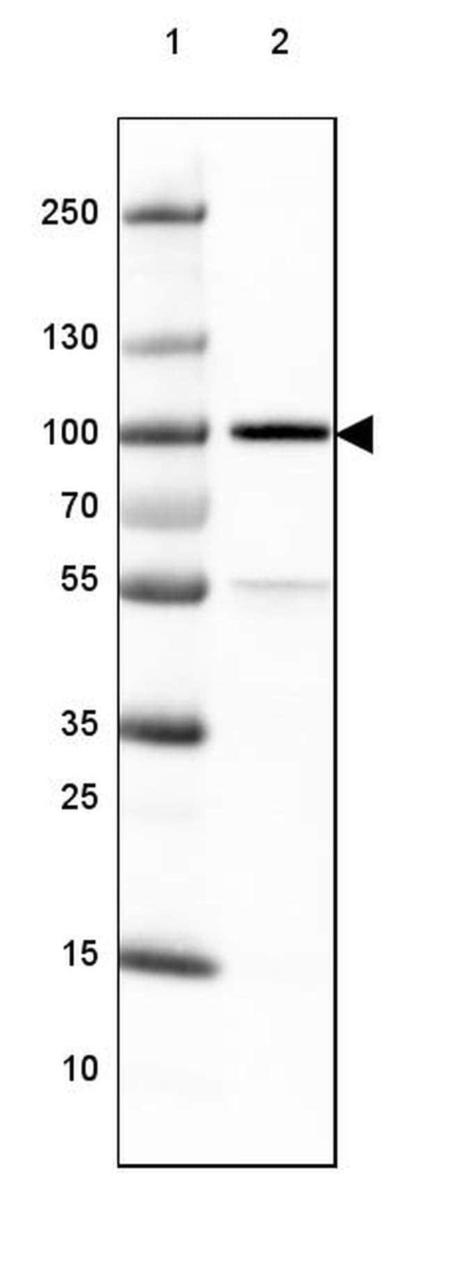 TLE3 Mouse anti-Human, Clone: CL3573, Invitrogen 100 µL; Unconjugated