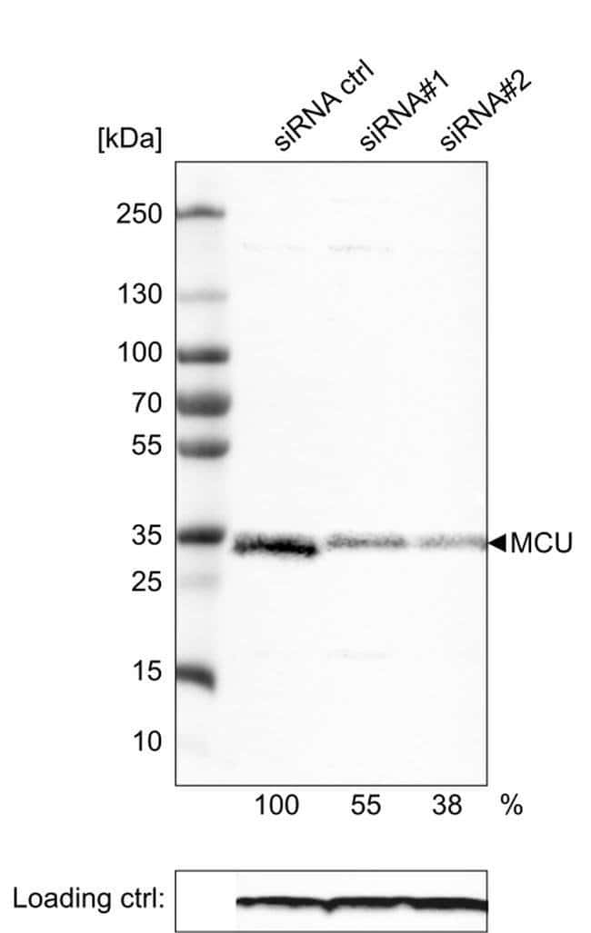 MCU Mouse anti-Human, Clone: CL3576, Invitrogen 100 µL; Unconjugated