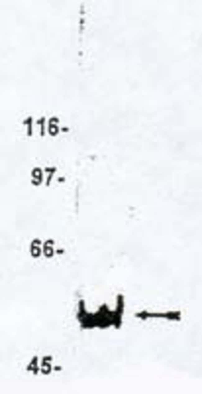 MAGI3 Sheep anti-Human, Polyclonal, Invitrogen 250 μg; Unconjugated:Antibodies