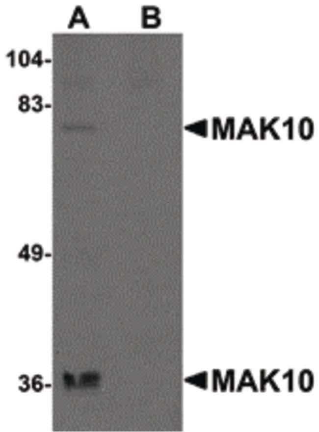 MAK10 Rabbit anti-Human, Mouse, Rat, Polyclonal, Invitrogen 100 µg;