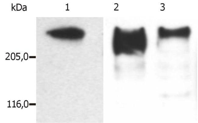 MAP2 Mouse anti-Human, Mouse, Porcine, Clone: MT-08, Invitrogen 100 µg;