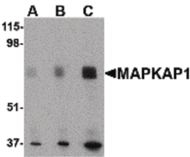 MAPKAP1 Rabbit anti-Human, Mouse, Rat, Polyclonal, Invitrogen 100 µg;