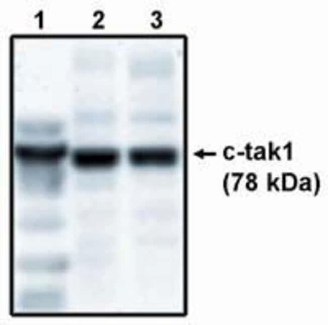 MARK3 Sheep anti-Human, Polyclonal, Invitrogen 250 μg; Unconjugated:Antibodies