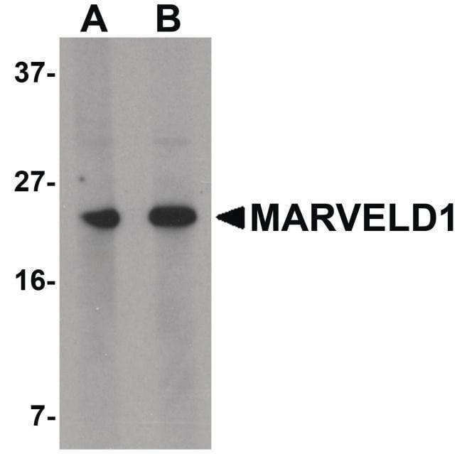 MARVELD1 Rabbit anti-Human, Mouse, Rat, Polyclonal, Invitrogen 100 µg;