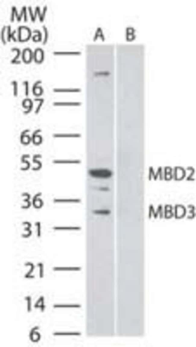 MBD3 Mouse anti-Human, Clone: 106B691, Invitrogen 100 µg; Unconjugated