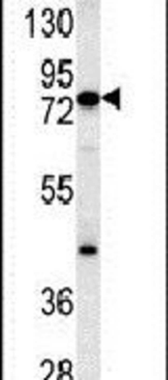 MCCC1 Rabbit anti-Human, Mouse, Polyclonal, Invitrogen 400 µL; Unconjugated