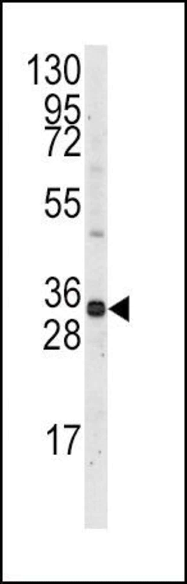 MCL1 Rabbit anti-Human, Mouse, Polyclonal, Invitrogen 400 µL; Unconjugated