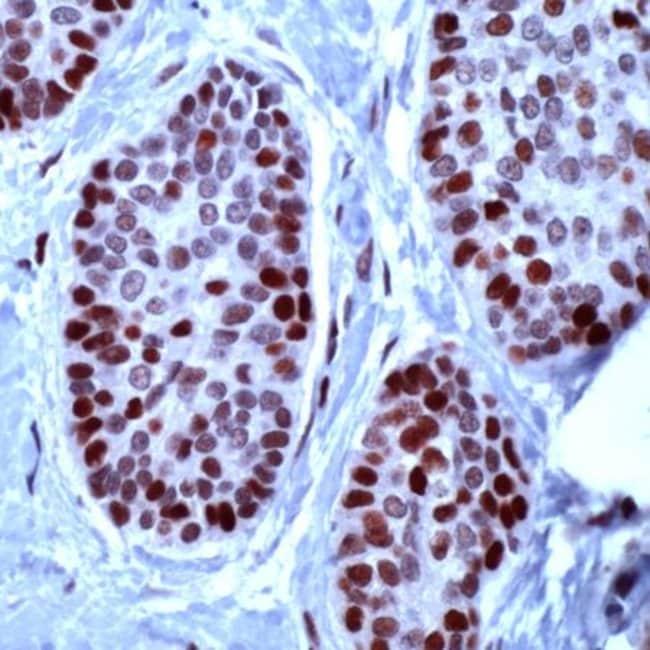 MCM2 Rabbit anti-Human, Mouse, Polyclonal, Invitrogen 1 mL; Unconjugated:Antibodies