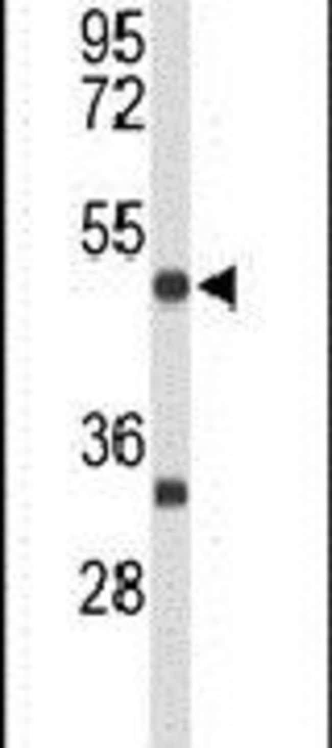 MEF2A Rabbit anti-Human, Mouse, Polyclonal, Invitrogen 400 µL; Unconjugated
