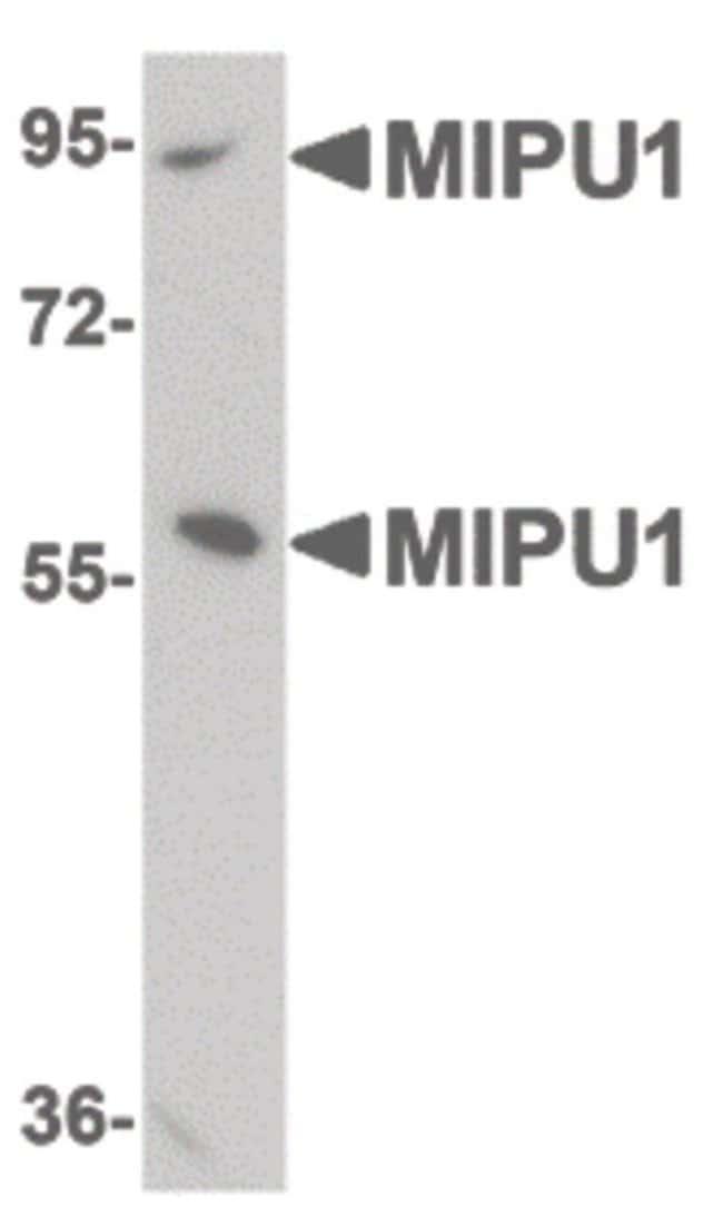 ZNF667 Rabbit anti-Human, Mouse, Rat, Polyclonal, Invitrogen 100 µg;