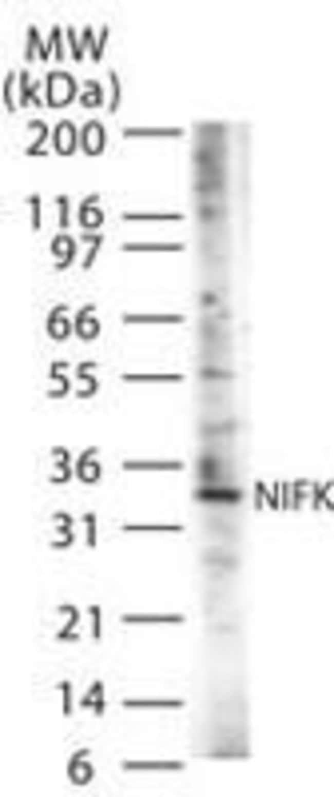NIFK Rabbit anti-Human, Mouse, Polyclonal, Invitrogen 100 µg; Unconjugated