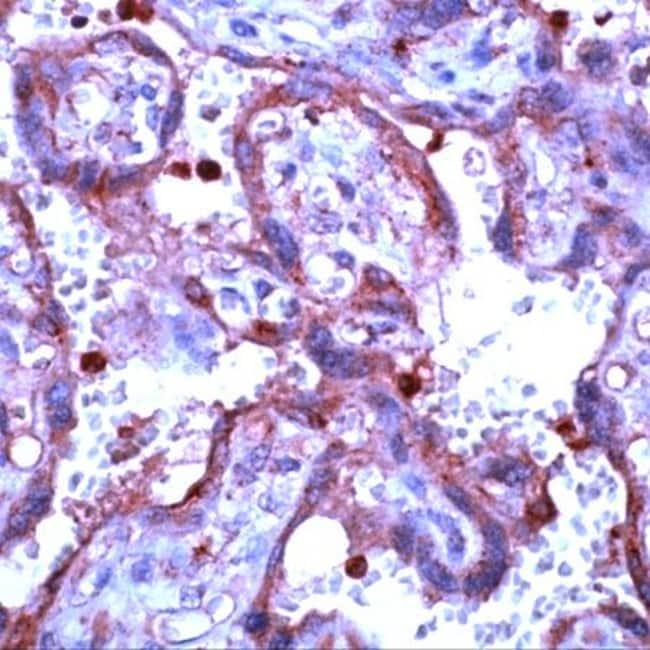MMP9 Rabbit anti-Human, Polyclonal, Invitrogen 1 mL; Unconjugated:Antibodies
