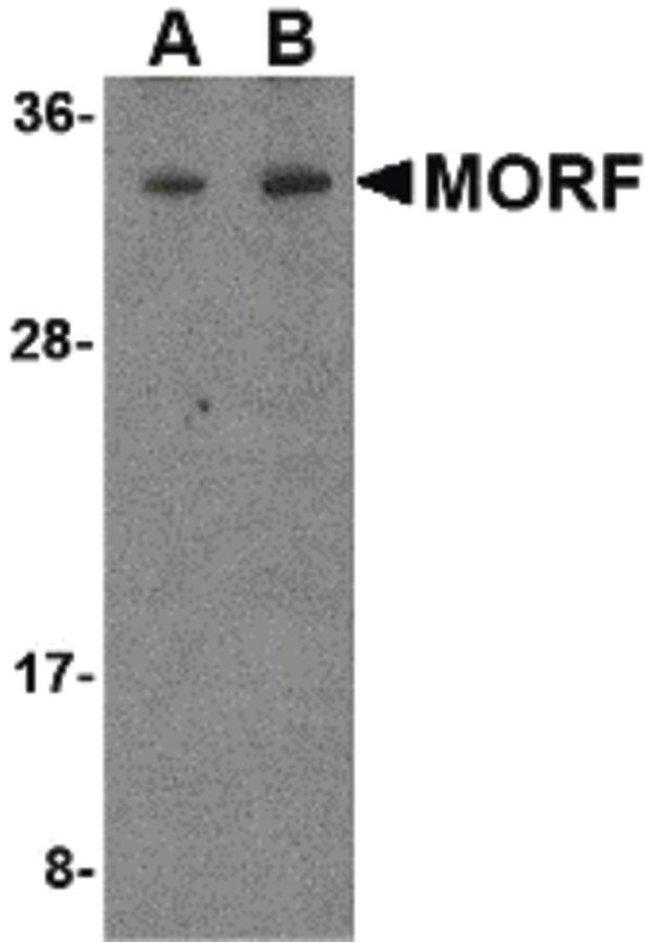 MORF4 Rabbit anti-Human, Mouse, Rat, Polyclonal, Invitrogen 100 µg;