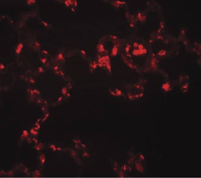MRE11 Rabbit anti-Human, Mouse, Rat, Polyclonal, Invitrogen 100 µg;