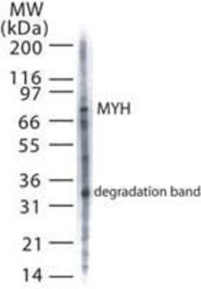 MUTYH Rabbit anti-Bacteria, Human, Mouse, Rat, Polyclonal, Invitrogen 100