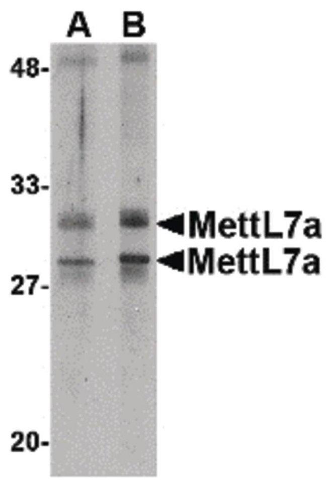 METTL7A Rabbit anti-Human, Mouse, Polyclonal, Invitrogen 100 µg; Unconjugated