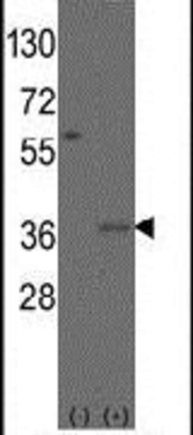 MSX2 Rabbit anti-Human, Polyclonal, Invitrogen 400 µL; Unconjugated