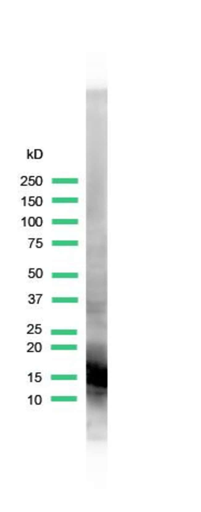 Myoglobin Rabbit anti-Human, Polyclonal, Invitrogen 1 mL; Unconjugated:Antibodies