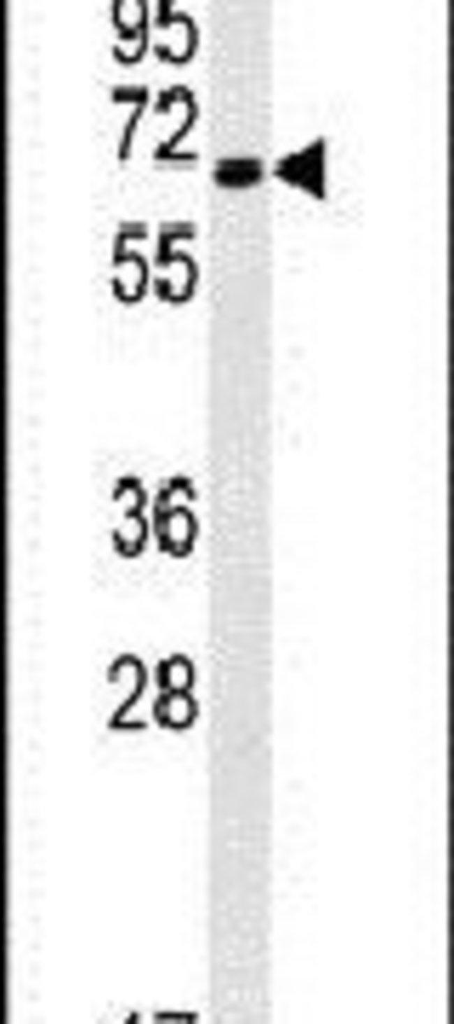 N4BP3 Rabbit anti-Human, Polyclonal, Invitrogen 400 µL; Unconjugated
