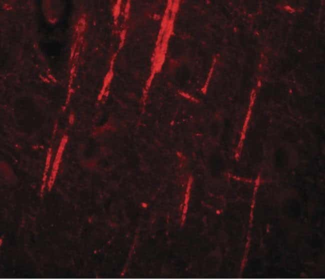 NALP12 Rabbit anti-Human, Mouse, Rat, Polyclonal, Invitrogen 100 µg;