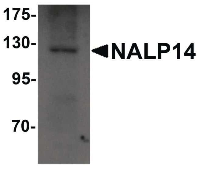 NALP14 Rabbit anti-Human, Mouse, Rat, Polyclonal, Invitrogen 100 µg;