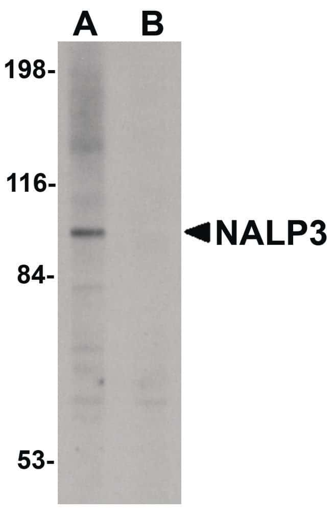 NLRP3 Rabbit anti-Human, Mouse, Polyclonal, Invitrogen 100 µg; Unconjugated
