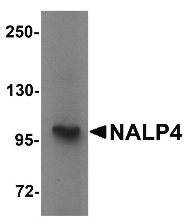 NALP4 Rabbit anti-Human, Mouse, Polyclonal, Invitrogen 100 µg; Unconjugated