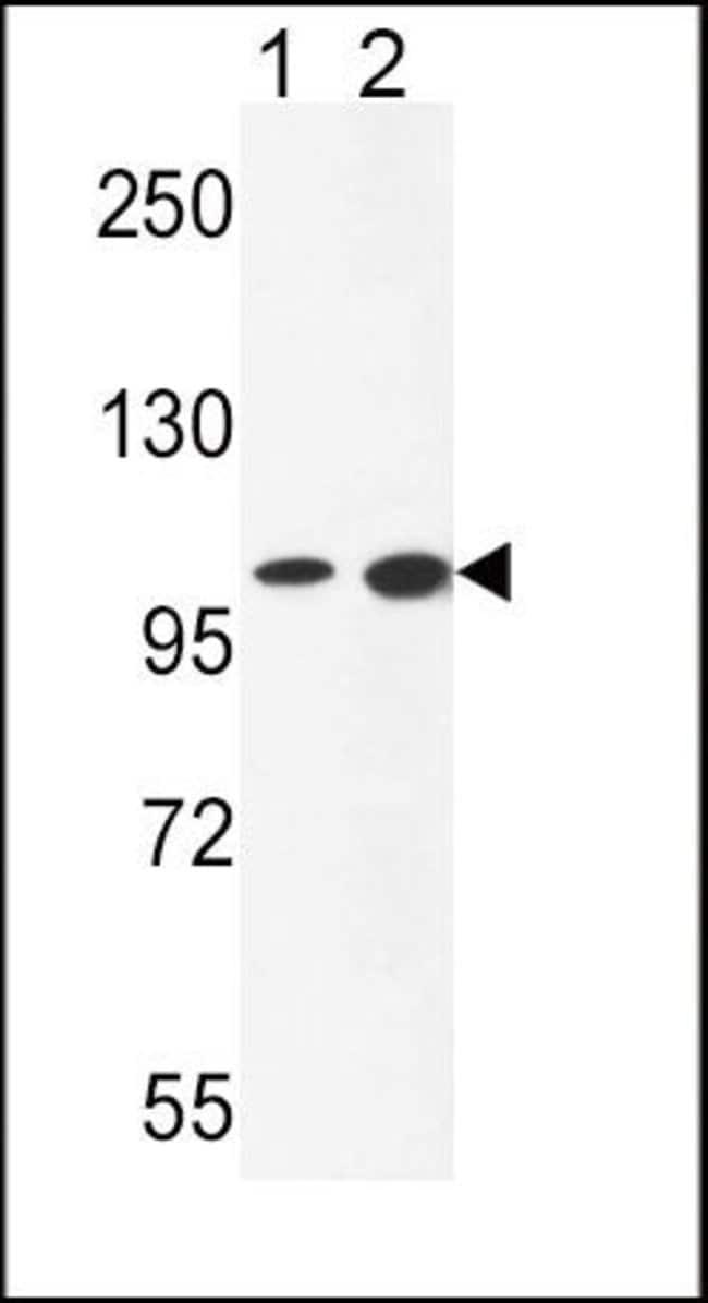 NCOA7 Rabbit anti-Human, Mouse, Polyclonal, Invitrogen 400 µL; Unconjugated
